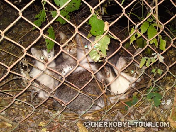 Котята в г. Чернобыль